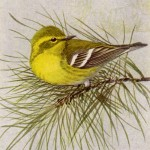 Pine Warbler, Birds of the Northeast, bench warrant