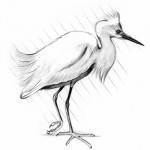 Snowy Egret, Birds of the Northeast, migratory, flight risk