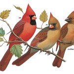 Northern cardinal, Birds of the Northeast, child support