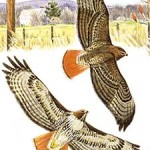 Red-Tailed Hawk, Birds, American Northeast